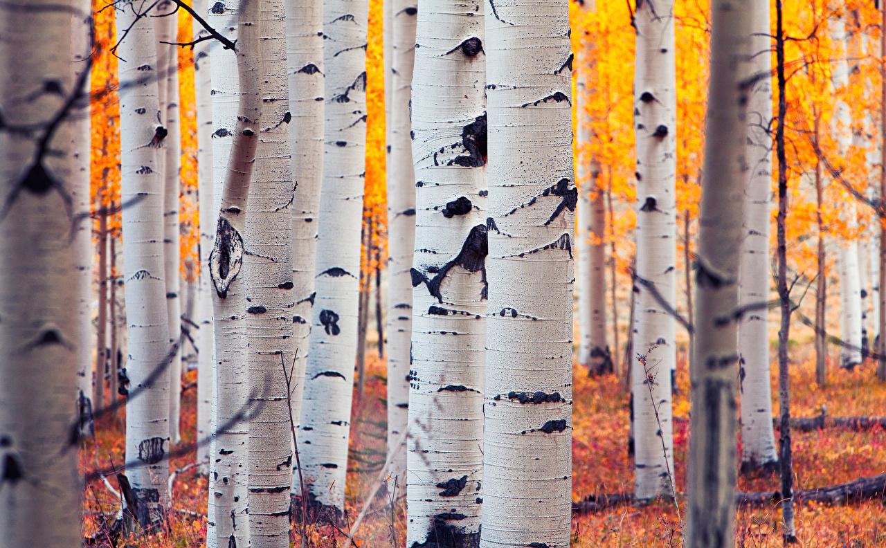 Huş Ağacının özsuyu – Letonya'da Sağlıklı Yaşam