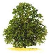 Ihlamur ağacı (Liepa)